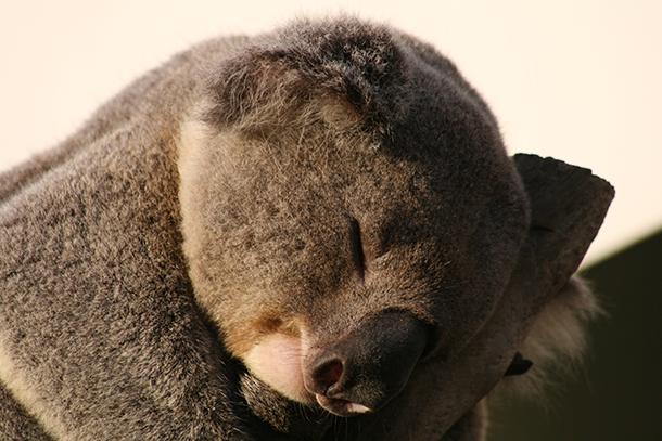 The iconic Australian koala.