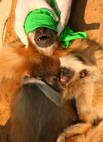 A gibbon baby feeding on milk from its mother. c. IFAW-WTI