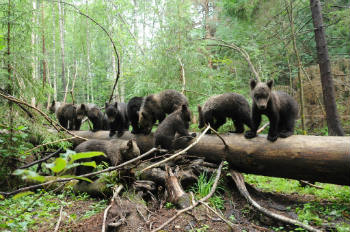 Little Borya is a dark small bear trying to climb onto the log – third from the right.