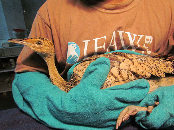 An IFAW Wildlife Rescue Centre staff member holds a rescued Bengal Florican.