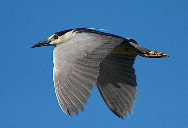 A black-crowned night heron in flight  c. Wikimedia