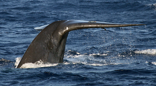 The fluke of one of the blue whales sighted by the IFAW research team working in Sri Lanka. c. IFAW