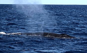A Byrde's whale.
