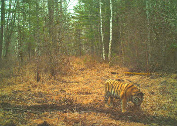 A motion-activated camera trap snapped this picture of Cinderella after her release.