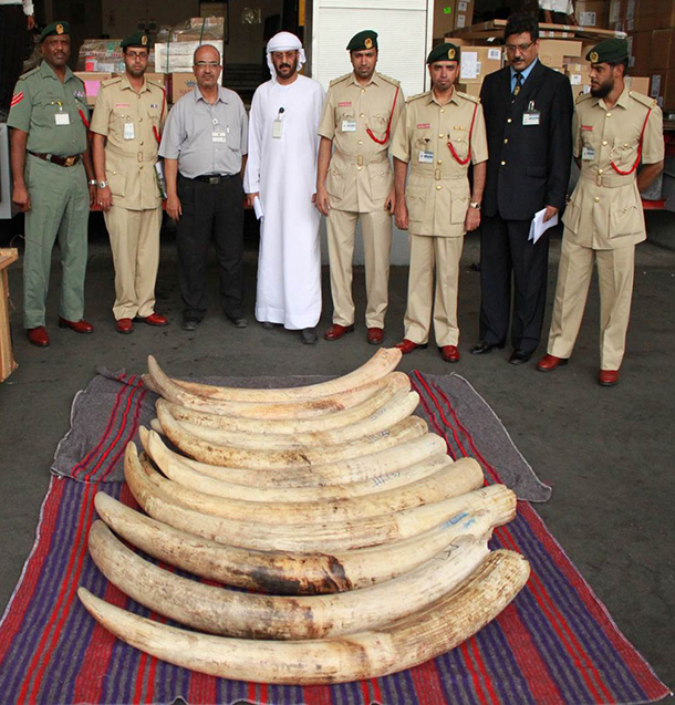 Dubai officials with African elephant tusks seized on October 8, 2014.