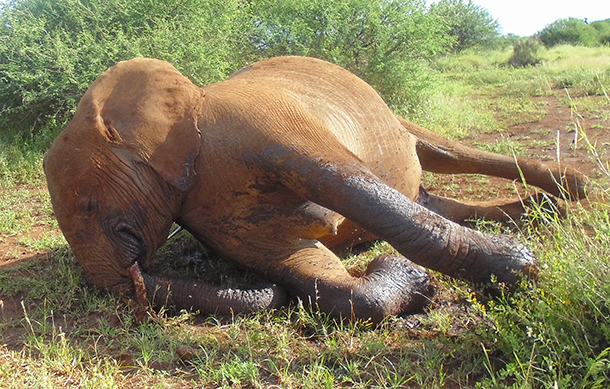 The one unanswered question in our midst was how callous the individual responsible was to spear an obviously pregnant female elephant.