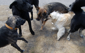 The gaggle of dogs together pre walk.