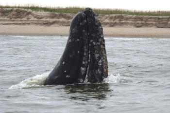 One of the playful western grey whales.
