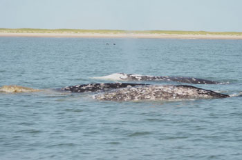 A pair of western grey whales enjoying the rare sun.