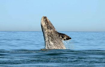 A breaching western grey whale.