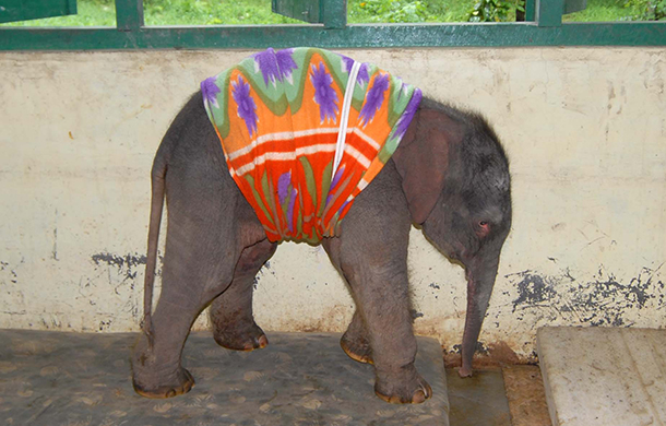 Wenn es in Indien regnet, schüttet es! Dies ist eines von sechs Elefantenkälbern, die in der IFAW Wildtierrettungsstation in Kaziranga im Nordosten Indiens versorgt werden. Das Kalb wurde durch den Monsunregen von der Mutter getrennt.