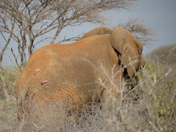 The first four elephants of Day 1 were darted and collared in an average time of 13 minutes per elephant.