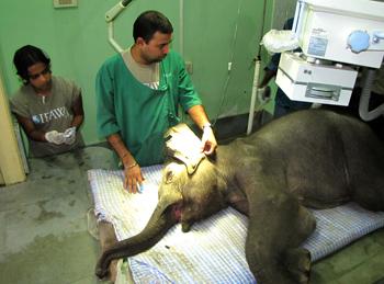Dhara gets an x-ray. Credit: IFAW/S.Barbaruah