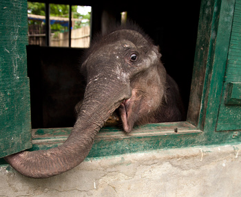 Dhara pokes her head out of the nursery building. Credit: IFAW/S.Bararuah