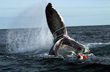 An whale entangled with fishing gear seen on its tail.