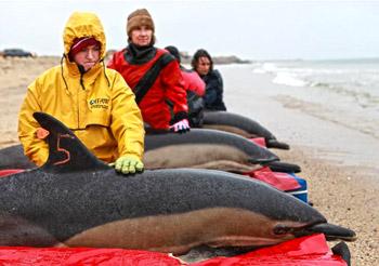 Freiwillige Helfer des IFAW-Meeressäuger-Rettungsteams (Marine Mammal Rescue and Research Team, MMRR) kümmern sich um drei Delfine, die auf ihre Freilassung warten.