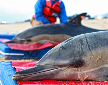 Two common dolphins recently rescued and released in Wellfleet, Massachusetts, USA. An ID tag can be seen on the dorsal fin of the dolphin in the background. c. 2012 IFAW
