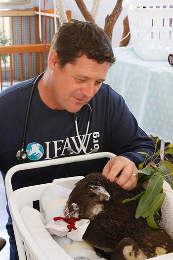 IFAW vet Don Hudson carefully examines a burned koala, Richardson Jane, found a week ago on Richardson Road,
