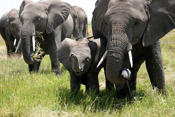 Einige der Elefanten, die Vicki Fishlock im Amboseli Elefanten-Forschungsprojekts (AERP) beobachtete. Das AERP ist ein Projekt des Amboseli Trust for Elephants (ATE, Amboseli-Elefantenstiftung). Es handelt sich hier um die längste jemals durchgeführte Studie zur Erforschung wildlebender Elefanten. © IFAW-ATE/V. Fishlock