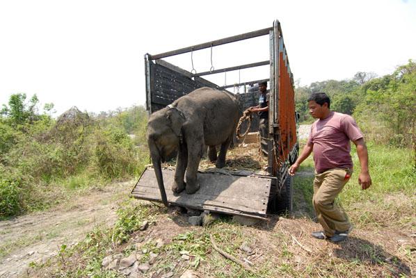 Een van de olifantjes komt aan in Manas National Park.