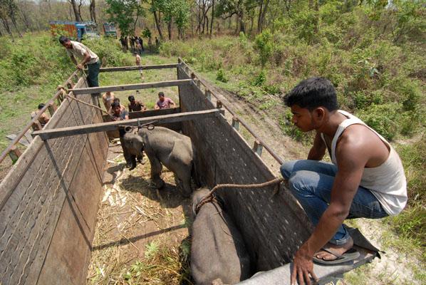 De olifanten worden klaargemaakt voor hun vrijlating in Manas National Park.