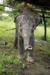Elephant calf rescued from Kanchanjuri.