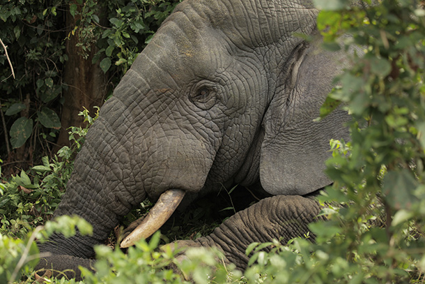 This Ivory Coast elephant's tusks become more tempting to poachers if pending legislation blocks the Obama Administration plans to strengthen the U.S. ban on the ivory trade ©IFAW/M. Booth