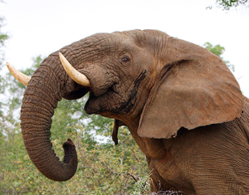 The UK's National Wildlife Crime Unit helps protect wild elephants with their in country efforts.