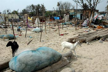 Goats walk amid debris from the devastating tsunami of 2004.