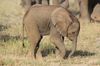 Geeta's female calf, our 100th recorded calf in the Amboseli baby boom.