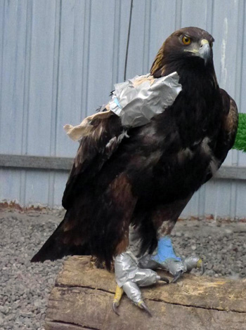The IFAW BRRC guest golden eagle, in her protective bandages.