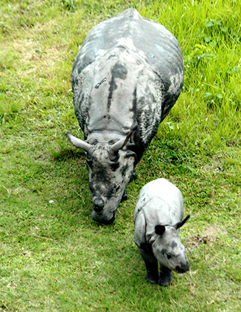 Rhino mother and calf: Ganga and Dharati.