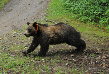 One of the orphaned grizzly cubs on his way back to the wilderness.