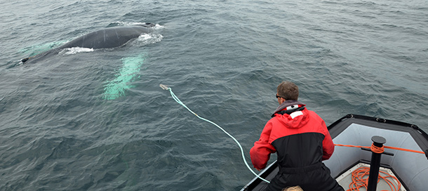 Un sauveteur de la CWRT (l'équipe de sauvetage de baleine de l'île de Campobello) libère Hangglide, une baleine à bosse mâle âgée de 9 ans, dans la baie de Fundy. © CWRT/IFAW