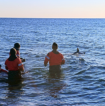 IFAW MMRR teams release two dolphins back into the Atlantic. c. IFAW