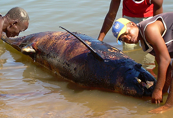 In 2008, approximately 100 melon-headed whales stranded in Northwest Madagascar. The International Fund for Animal Welfare (IFAW) rushed a team of experts to conduct mass stranding prevention, provide medical care to stranded live animals, and gather as much data as possible. In a report issued on the 25th of September 2013, an independent scientific review panel concluded that the mass stranding was primarily triggered by noise originating from a sonar mapping system used by ExxonMobil.