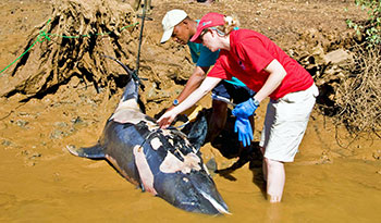 About 100 Mellon-headed whales stranded off the coast of Madagascar in 2008, and the author, right, was there in an effort to save them.