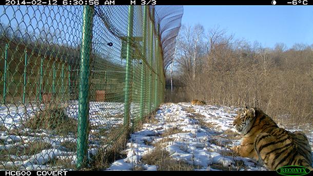 Tiger sind familiäre Tiere und meiden Konflikte – ein ausreichendes Nahrungsangebot vorausgesetzt.