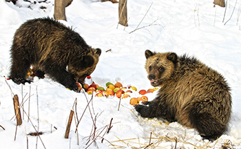 """The two cubs, """"Blair"""" and """"Terry"""" feast on bear foods, like apples."""