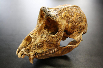 One of the macaque skulls recovered. c. Douane française