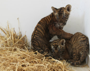 The cubs were in miserable condition, dehydrated from the high temperature, suffering from improper handling and transportation in very small pet boxes. It was so easy to see the suffering and fright in their eyes.