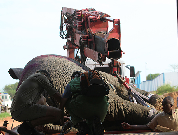 IFAW begins moving a herd of 9-12 displaced forest elephants that have been in conflict with humans in Daloa, Ivory Coast. The elephants will be released back to the wild in Azagny National Park. c. IFAW