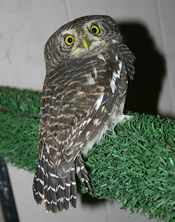 The Asian Barred Owlet in question.
