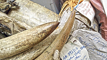 Elephant ivory held in an African storeroom.