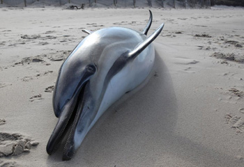 A dead common dolphin lies on the beach at Linnell Landing, Brewster, MA. c. IFAW/Julia Cumes