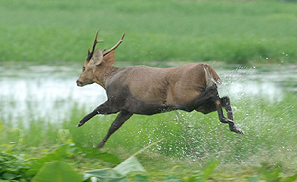 A rescued deer is released in Kaziranga National Park.