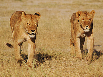 Two African lions in Amboseli National Park, Kenya. c. IFAW/M. Booth