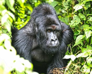 Silver-back mountain gorilla Kabirizi at the Virunga National Park in DRC.