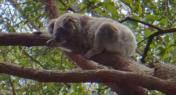 A koala resting in a tree © IFAW/J. Petch