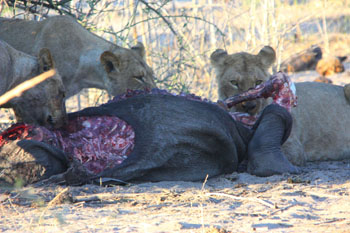Lions with their kill.